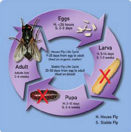 Life cycle of Muscid fly